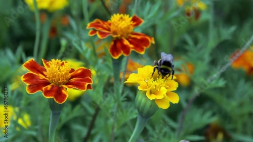 Wall mural bee bumblebee drink nectar on tagetes marigolds flowers