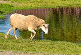 Sheep in a pasture - 167966664