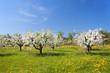 Leinwanddruck Bild - Kirschbaumblüte