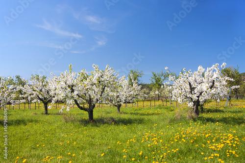 Leinwanddruck Bild Kirschbaumblüte