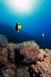 Anemon, błazenka, rybka nemo, zdjęcie wykonane w Egipcie, w Morzu Czerwonym
