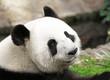 Giant Panda Face Shot, side profile, looking back at camera. China