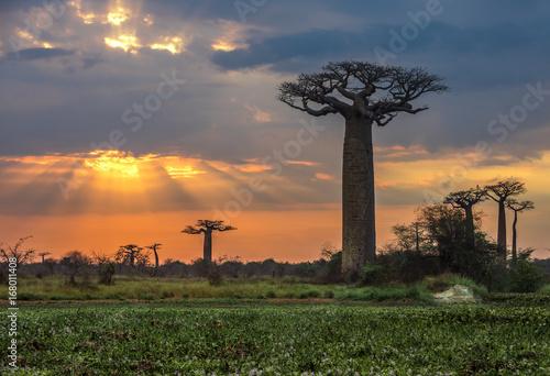 Fotobehang Baobab Sunrise over Avenue of the baobabs, Madagascar