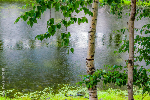 Birch on the shore of the pond in the summer during rain, landscape