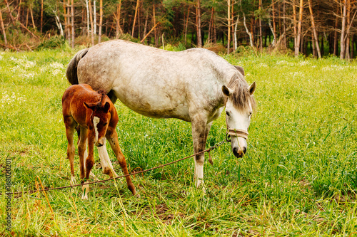 Gray horse and brown colt on the meadow Poster