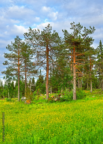 fototapeta na ścianę Northern landscape. Coniferous forests and flowering fields