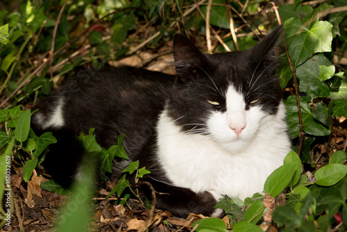 Bicolor cat, black white, in a home house garden