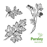 Parsley plant and leaves vector hand drawn illustration - 168035821