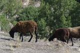 Ovejas marrones en un paisaje de montaña - 168041492