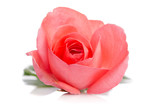 beautiful single pink rose lying down on a white background