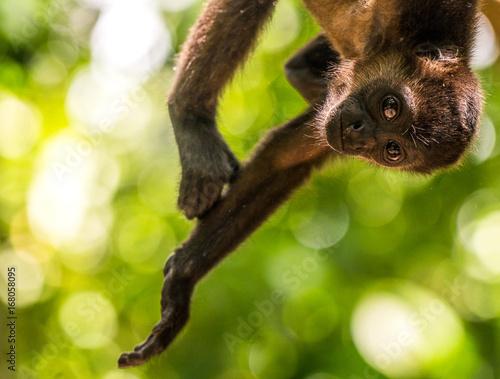 Brüllaffe hängt vom Baum in Costa Rica Poster