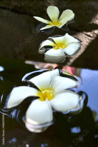 Fotobehang Plumeria Plumeria flower on the on the water