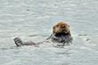 Uyak Sea Otter #1.
