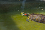 Terrapin swimming in water