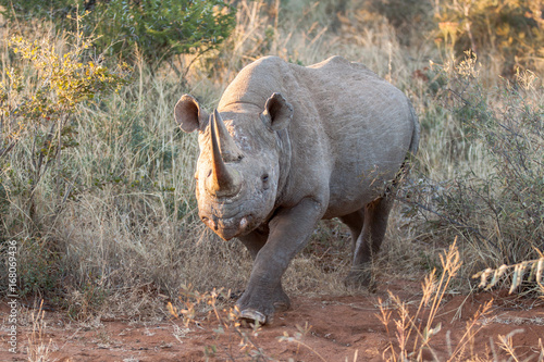 Highly endangered Black Rhioceros aka round-lipped Rhino Poster