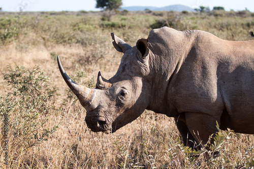 Fotobehang Neushoorn White Rhinoceros aka square-lipped rhinoceros