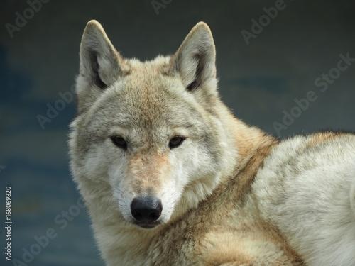 オオカミ Poster