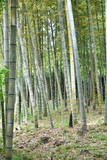 Bamboo shoot in Japan