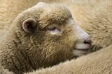 Young Cornish Sheep England - 168072261