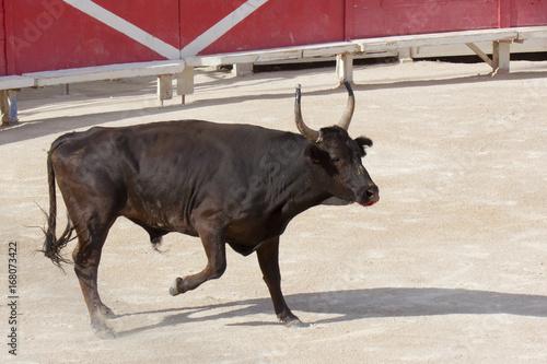 Il toro nell'arena di Arles