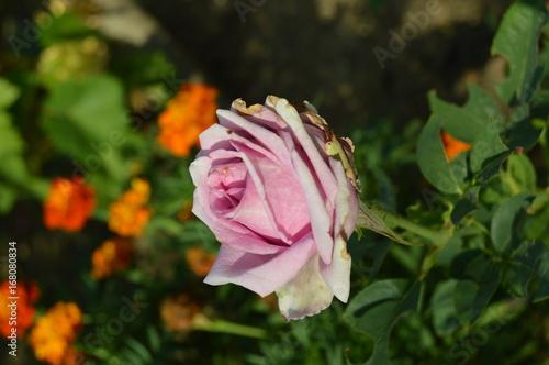 Purple light rose