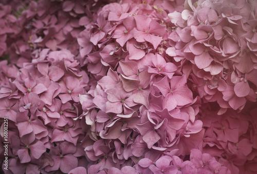 Fotobehang Hydrangea pink hydrangea