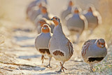 A flock of gray partridges in the backlight. Leader in front. - 168083038