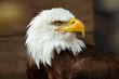 aigle pyguargue oiseau rapace tête emblême symbole puissance portrait détermination