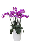 The pink  Orchid Phalaenopsis in pot on white background isolated - 168113056