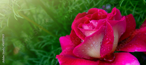 Poster Red Roses background.