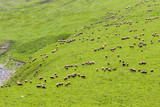 A large herd of sheep graze on the slope of a mountain covered with grass. - 168146621