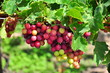 grapes in Ninh Thuan Viet Nam