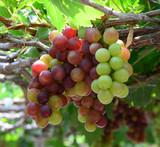 grapes in Phan Rang
