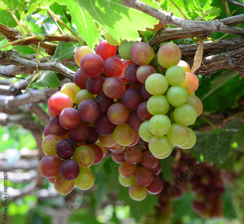 grapes in Phan Rang