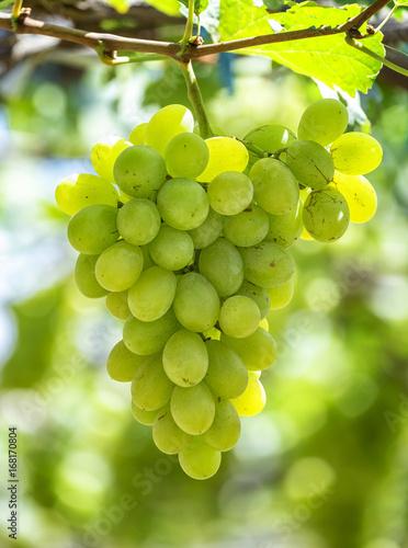 grapes green in Ninh Thuan
