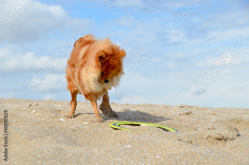 The funny puppy Spitz plays with a boomerang, gets wet and gets dirty in the sand Poster