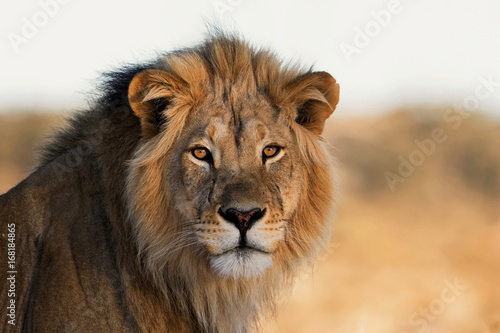 Canvas Lion Portrait of a King
