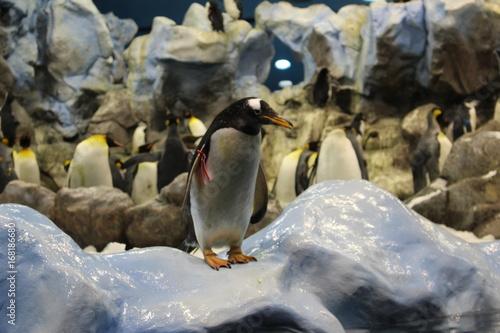 Fotobehang Pinguin PHOTOS PINGOUINS ET BREBIS AU LORO PARQUE A TENERIFE ESPAGNE
