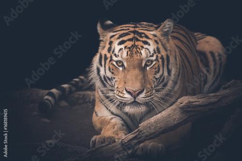 Plakat tiger