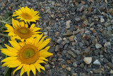 Three sunflowers are located on the left on the background of grey crushed stone