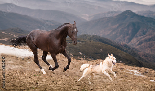 The dark brown horse run with the dog on the mountains background © ashva