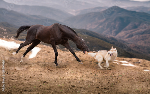 The dark brown horse attack the dog on the mountains background © ashva