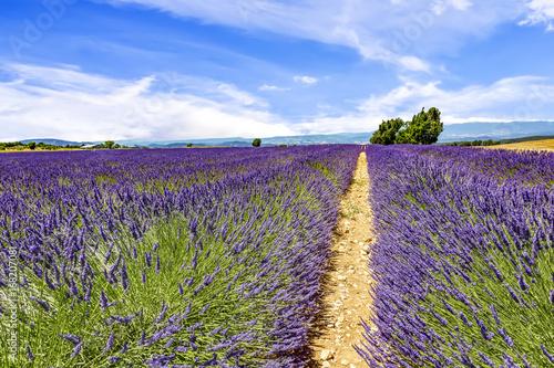 Fotobehang Snoeien Blooming lavender field