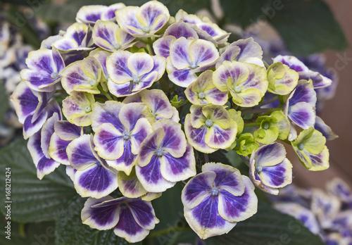 Fotobehang Hydrangea Blaue Hortensie