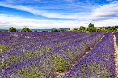 Flowering lavender fields © Edler von Rabenstein