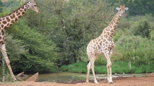 Two giraffe next to a waterpool in the Pilanesberg Game Reserve South Africa