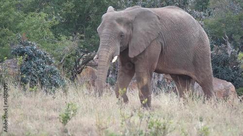 Big elephant starts walking in Waterberg South Africa