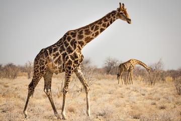 Spotted Giraffe!