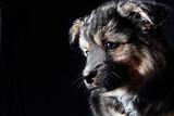 Портрет красивого щенка на черном фоне. Студийный портрет