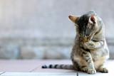 Elegant tabby cat sitting on the floor, grooming. Copy space, selective focus.